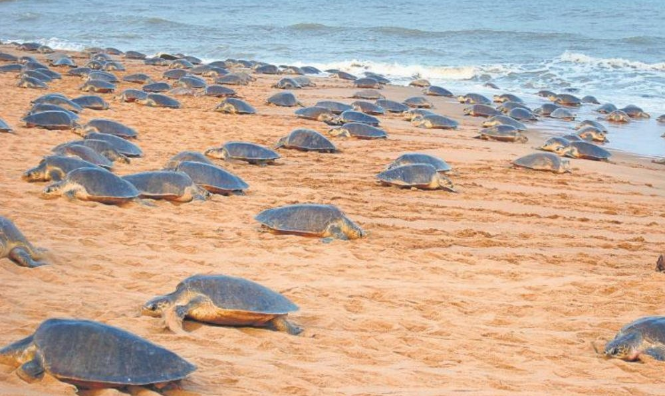 olive ridley sea turtle in odisha